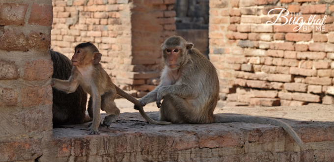 monkey pulls young monkey's tail at Monkey Temple